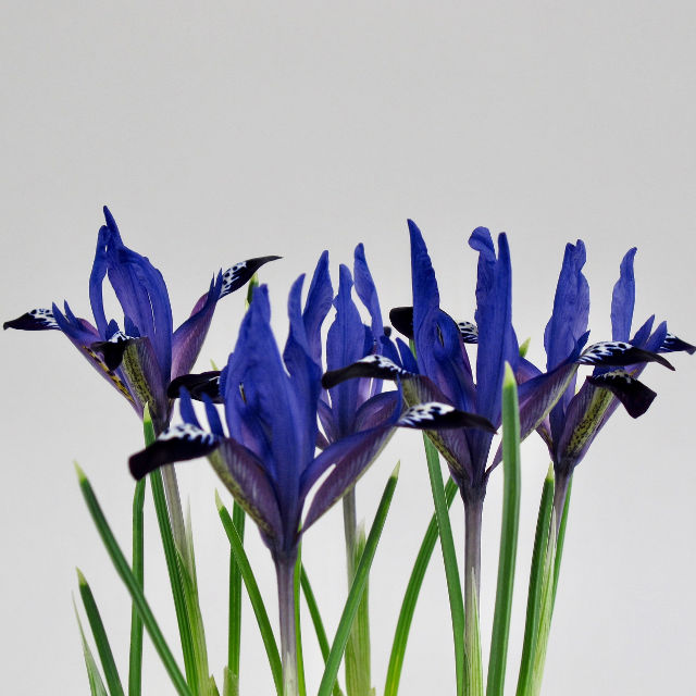 iris reticulata blue note 02